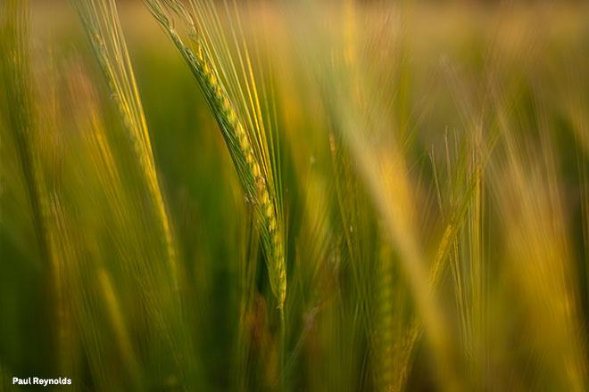 PReynolds_Wheat_f1