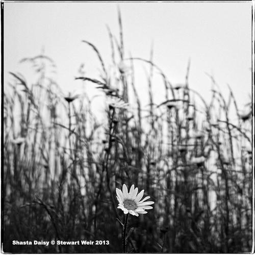 SWeir_daisy
