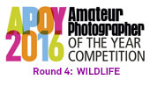 APOY2016 ROUND FOUR:  Wildlife, Results