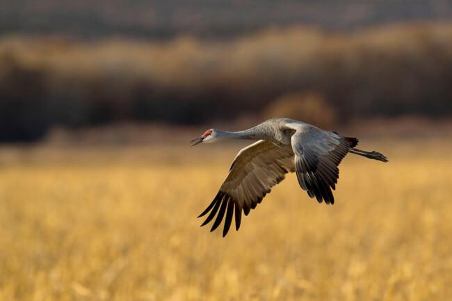 04-sandhill-crane-flying-over-cornfield-bosque-del-apache-sigma-500mm-f4-x1-4