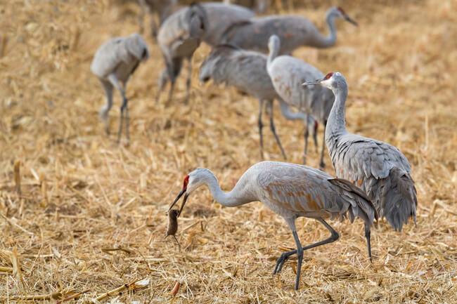 04-sandhill-crane-with-rat-bosque-del-apache-sigma-500mm-f4-1-4