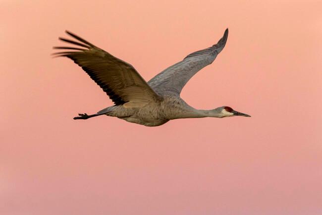 06-sandhill-crane-in-pink-dawn-light-bosque-del-apache-sigma-500mm-f4-x2