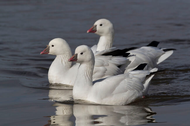 Snow goose trio, Bosque del Apache Figma. Image taken with the SIGMA 500mm F4 DG OS HSM | Sports lens + Teleconverter TC-2001 x2 by Roger Reynolds