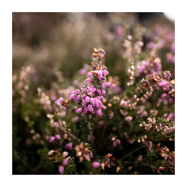 Bokeh; ISO 100 f1.4 1/100sec SIGMA 20mm F1.4 DG HSM | Art – The last of the heather, once again using that wonderful depth of field and close up accurate focus. Andi Campbell Jones