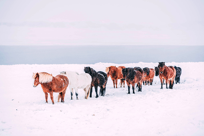 Horsing Around in the Snow