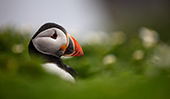Visiting Skomer with SIGMA lenses by cinematographer/photographer Ben Cherry