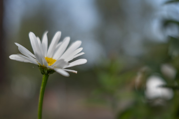A Daisy - SIGMA 45mm F2.8 DG DN | Contemporary with Panasonic S1