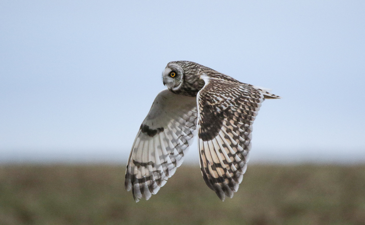 Short Eared Owl Jo Angell-1100