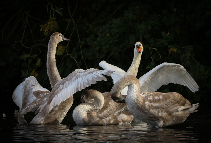 Swan Family Jo Angell-3104