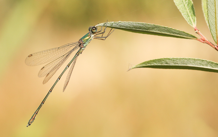 Willow Emerald Damselfly Jo Angell-0387
