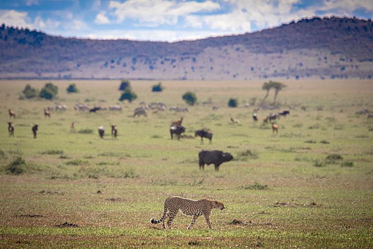 ASmith-Cheetah-landscape