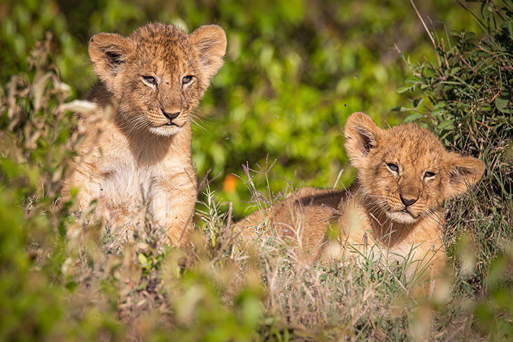 ASmith-Lion-cubs