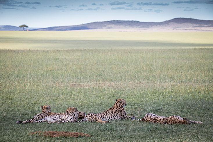 ASmith-Resting-Cheetah