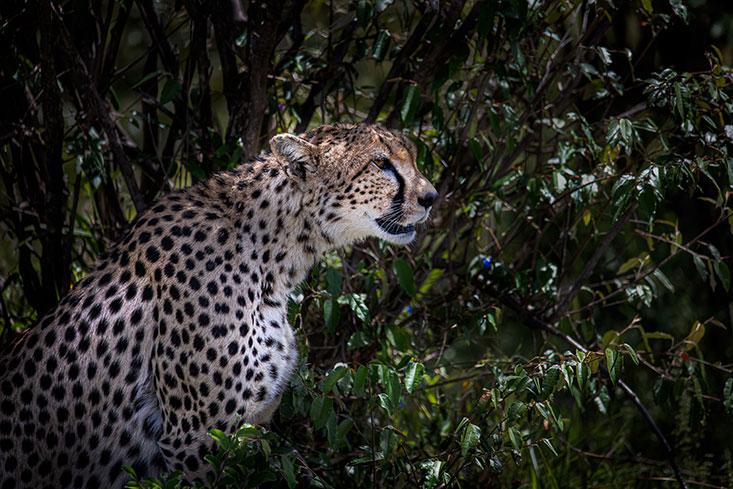 Asmith-Cheetah-side-portrait