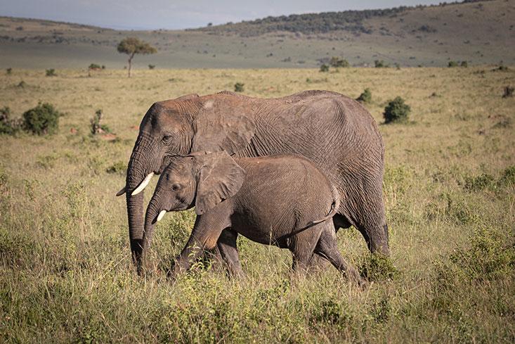 Asmith-Elephant