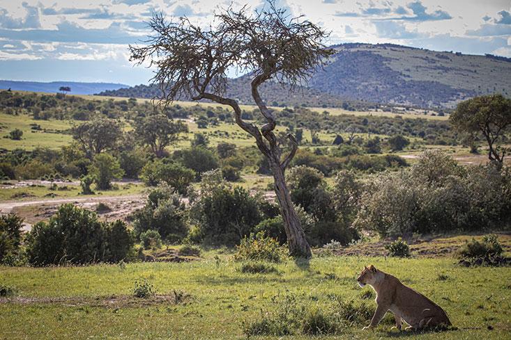 Asmith-Lion-landscape