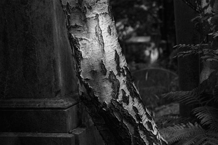 Birch-texture_Highgate-Cemetery
