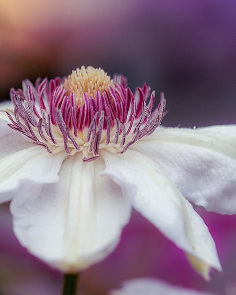 Spring Clematis