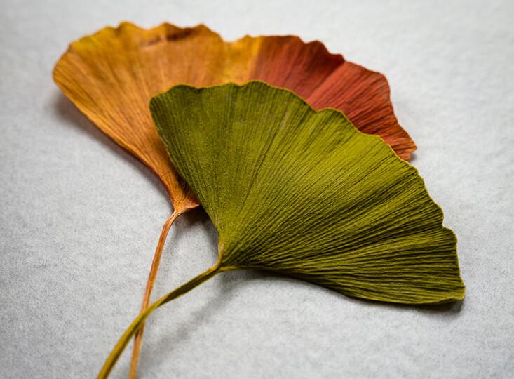 Ginko leaves (3)